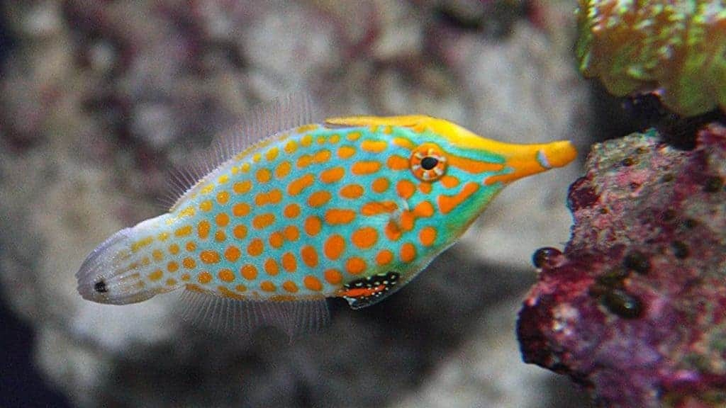 Orange spotted filefish - This fish feeds on the polyps of SPS corals.