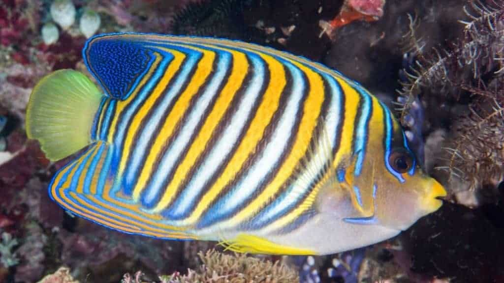 Regal angelfish - this is a fish that's probably just better off to be left in the ocean.