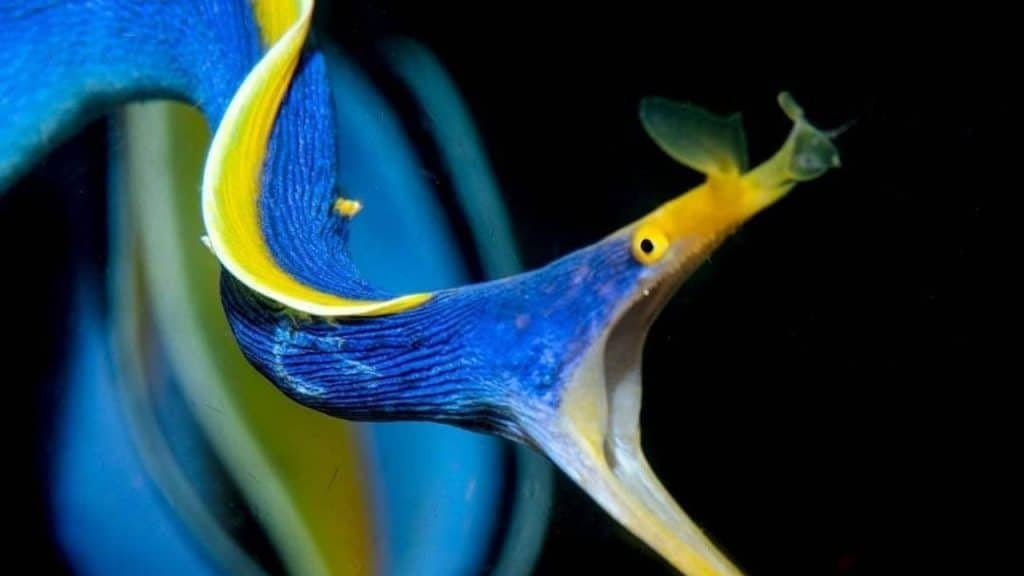 Ribbon eel prefer live foods and in some cases, will not accept food altogether.