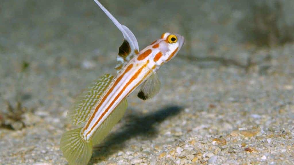 Spikefin Goby is probably one of the gorgeous gobies.