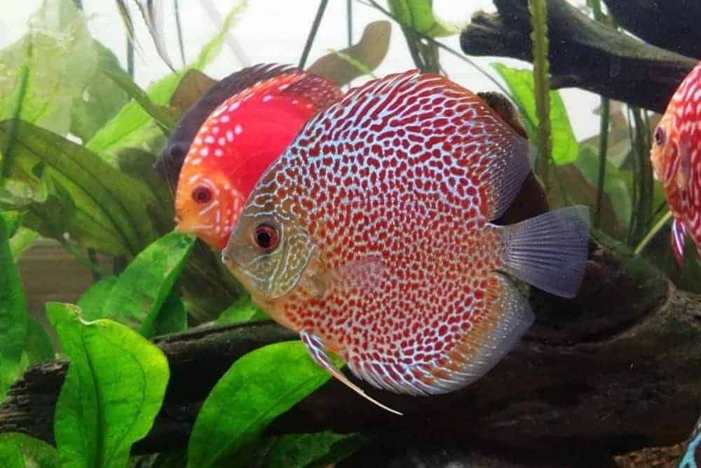 Discus fish in freshwater aquarium