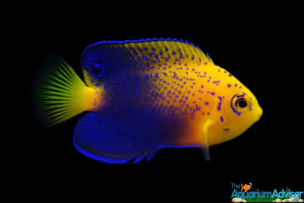 Dwarf Angelfish Centropyge species