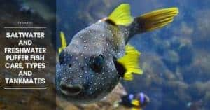 Puffer Fish – Tankmates and Diet
