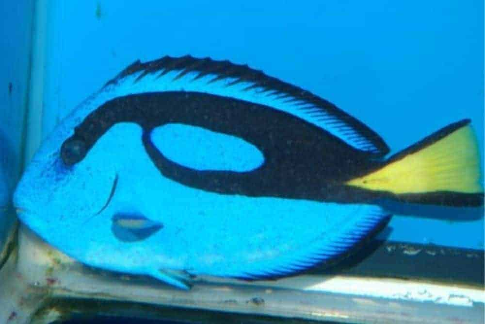 Blue Tang (Paracanthurus hepatus) infected with Cryptocaryon irritans