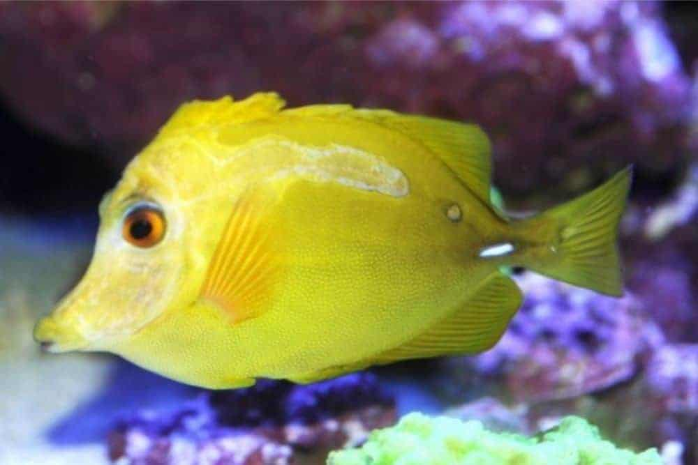 Sick Yellow Tang