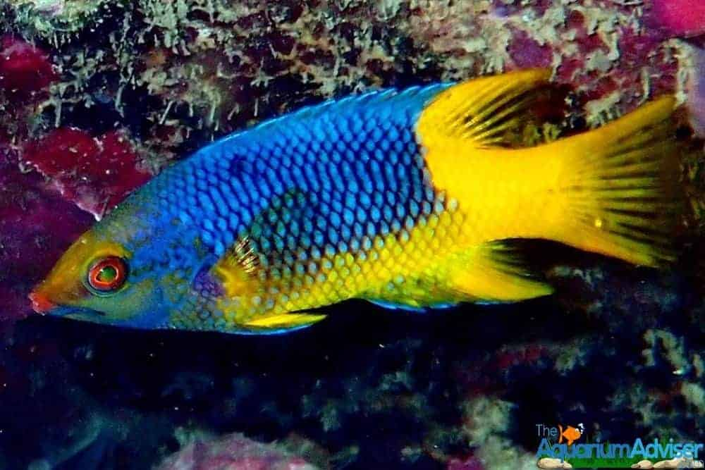 Spanish Hogfish Bodianus rufus