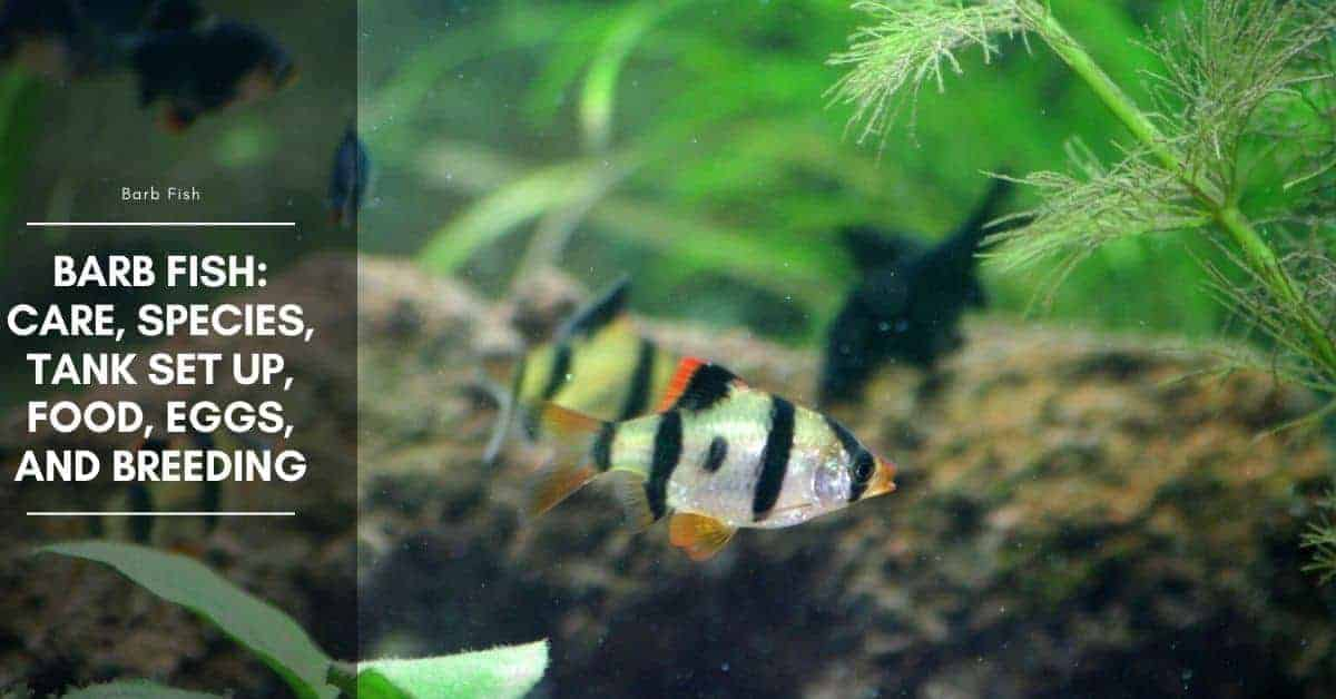 What Kind of Food Do Tiger Barb Fish Eat?
