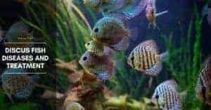 Discus Fish Diseases and Treatment