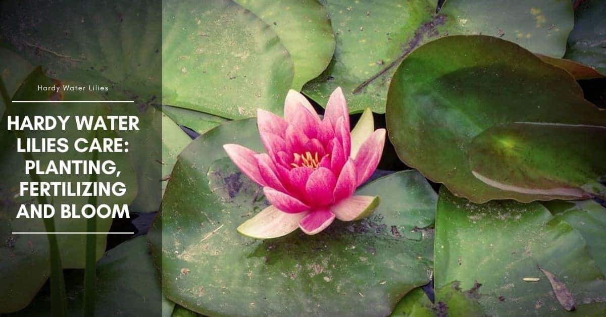 Hardy Water Lilies Care: Planting, Fertilizing and Bloom