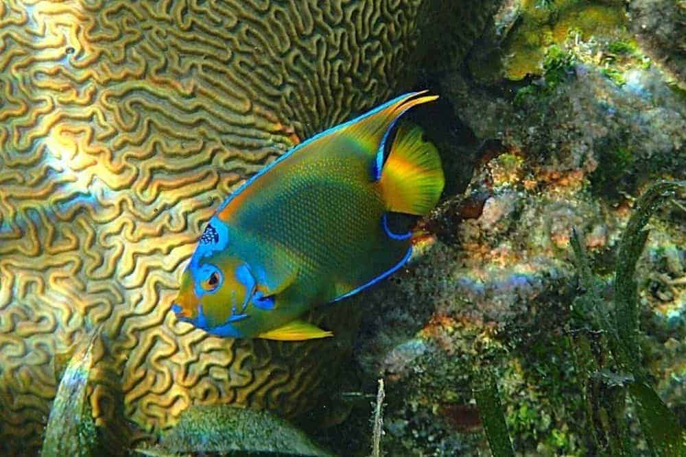 Queen Angelfish- Holacanthus Ciliaris