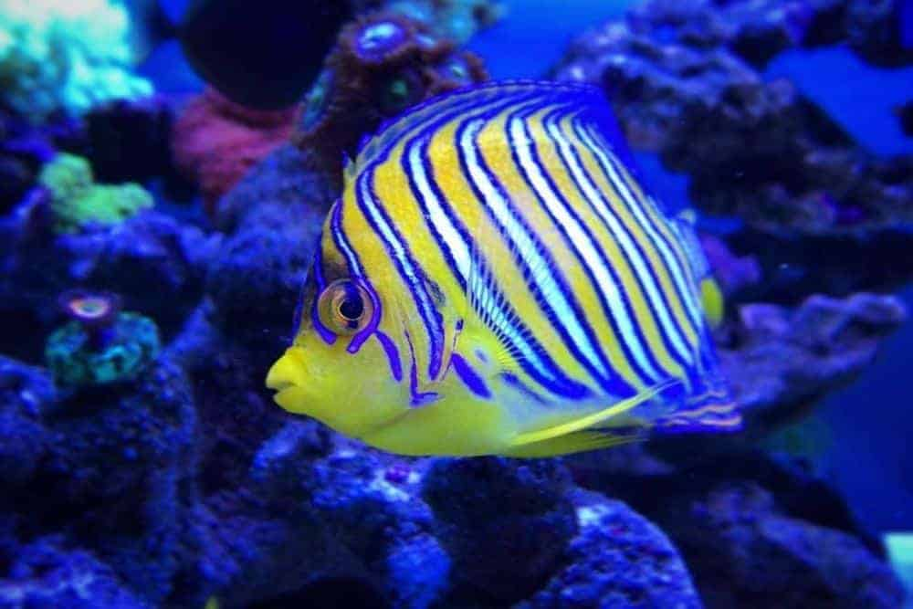 Regal (Royal) Angelfish - Pygoplites Diacanthus