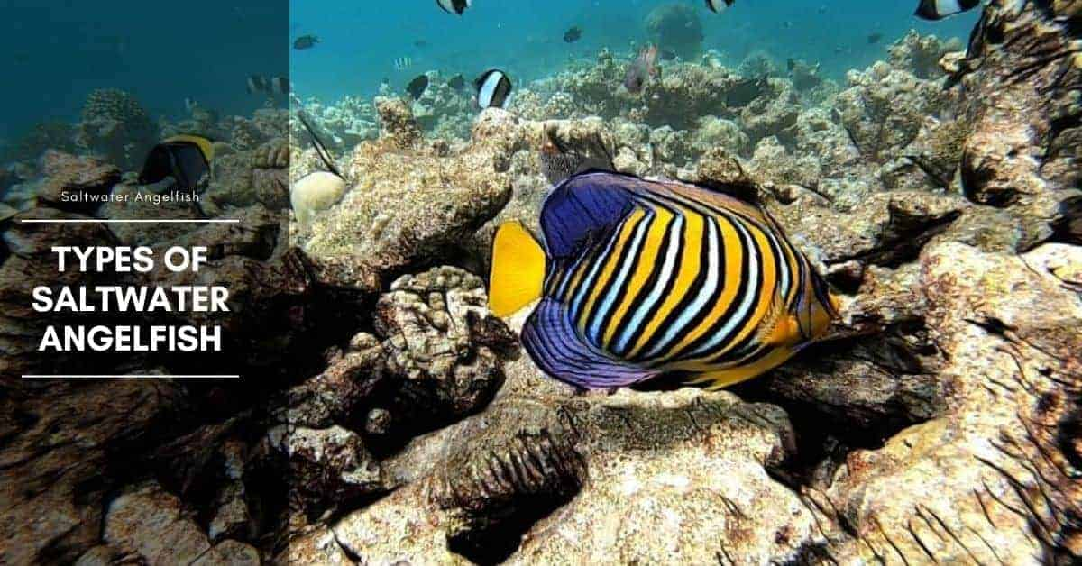 7 Types of Saltwater Angelfish (Pomacanthidae Family)
