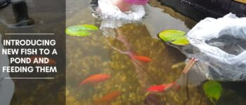 Introducing New Fish to a Pond and Feeding Them
