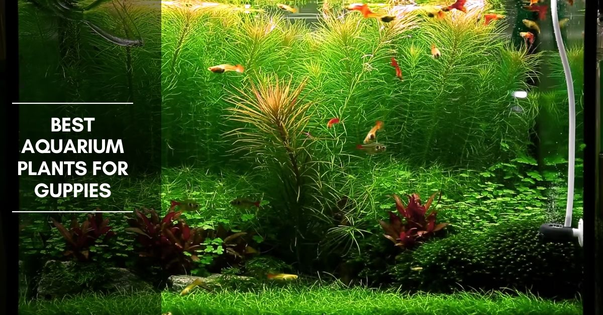 11 Best Aquarium Plants for Guppies
