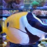 Foxface Fish Care: Are they reef-safe fish?