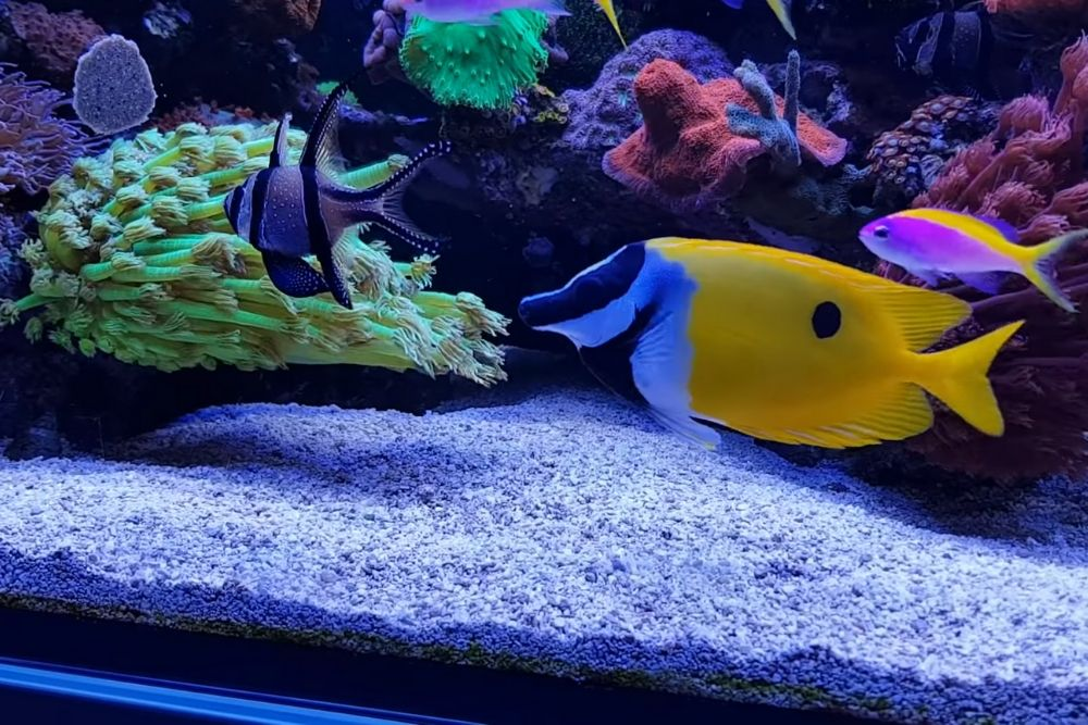 Are Foxface fish reef safe?