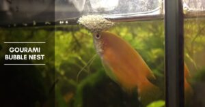 Gourami Bubble Nest – Breeding, and Common Gourami Species