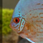 Ideal Water Conditions For Discus Fish: tds, Temperature, pH & Hardness