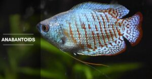 26 Anabantoids Fish Species –  Gourami, Betta, Paradise Fish, and More