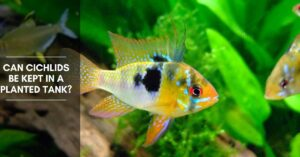 Can Cichlids Be Kept in a Planted Tank? Which Cichlids Don't Harm Plants?