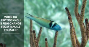 When Do Protogynous Fish Change from Female to Male?