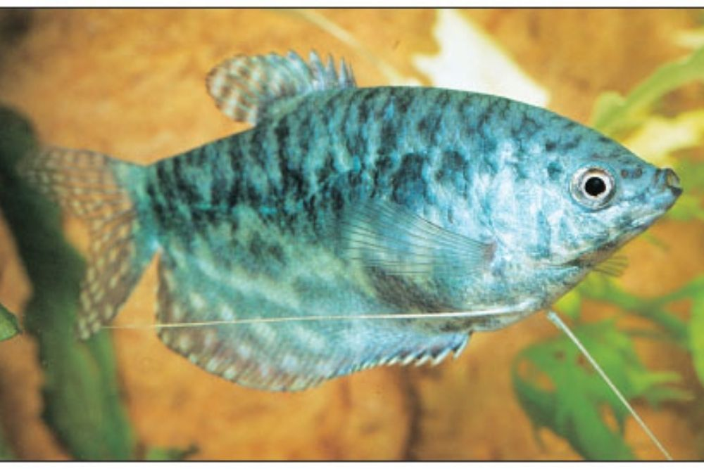 """Blue marble cosby gourami (Trichogaster trichopterus """"cosby"""")"""