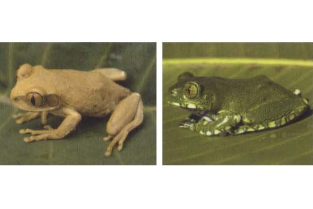 Male and female Vermiculated Tree Frog