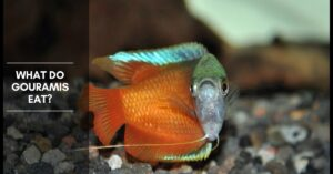 What Do Gouramis Eat, and How Often Should I Feed Them?