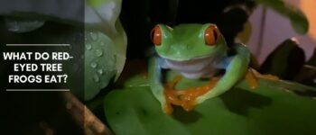 What Do Red-Eyed Tree Frogs Eat?