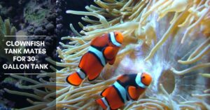 Clownfish Tank Mates for 30-Gallon Tank