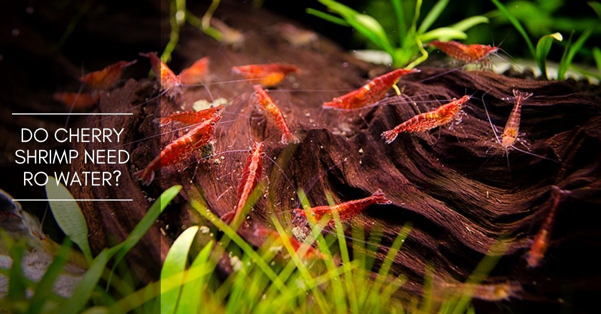 Do Cherry Shrimp Need RO Water? What Kind of Water Do They Need?