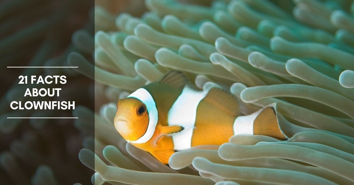 21 Facts about Clownfish and More a Lot of Information