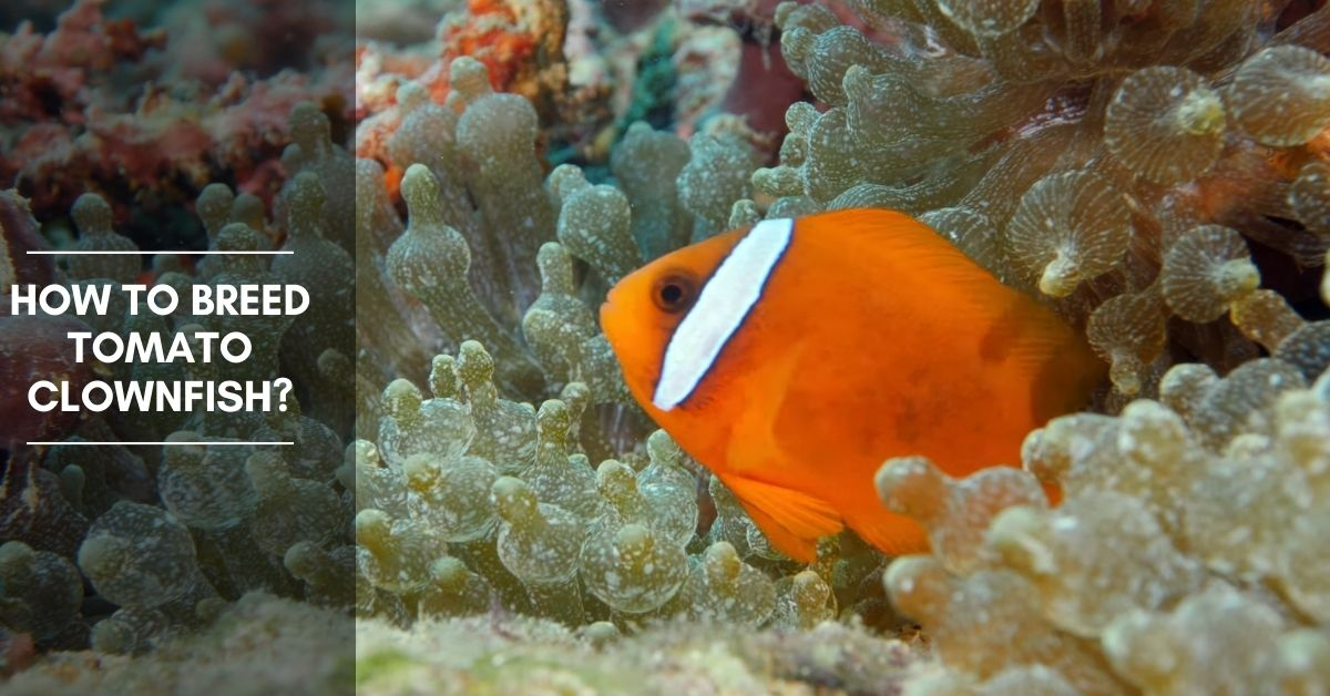 How To Breed Tomato Clownfish?
