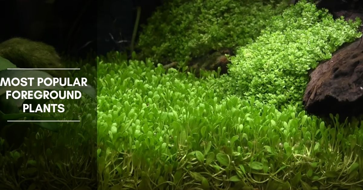 5 Most Popular Foreground Carpet Plants For Your Aquarium
