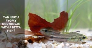 Can I Put a Pygmy Corydoras with a Betta Fish?