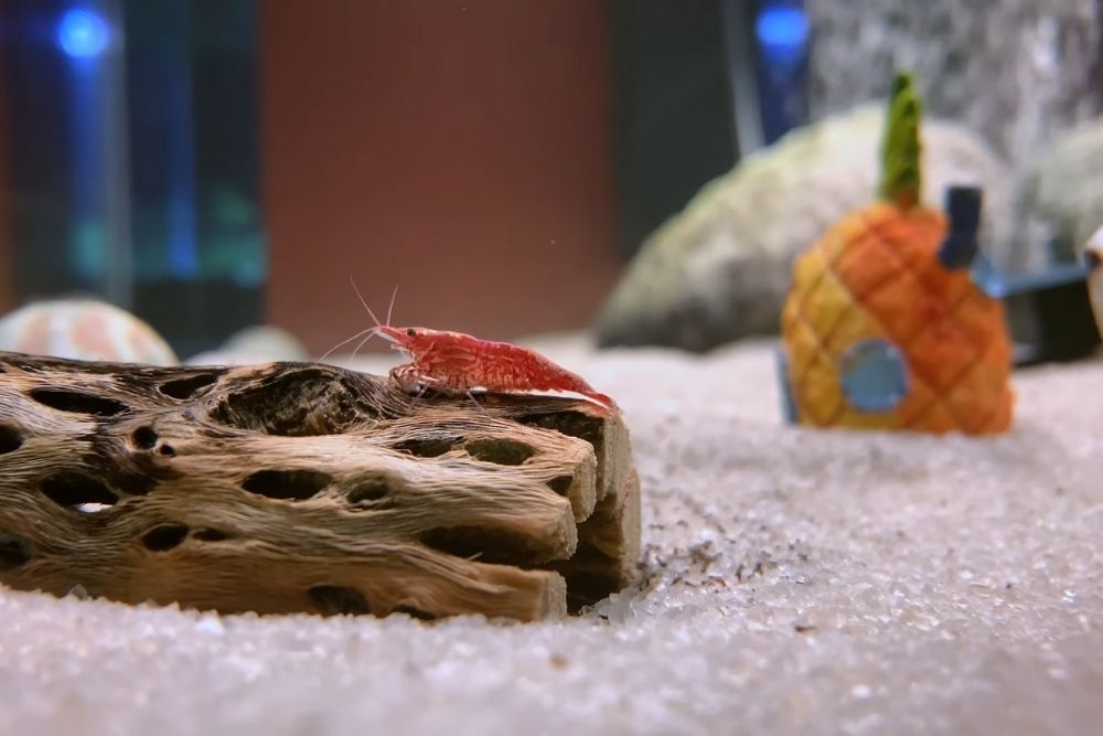 Red Cherry Shrimp and Sand Bed
