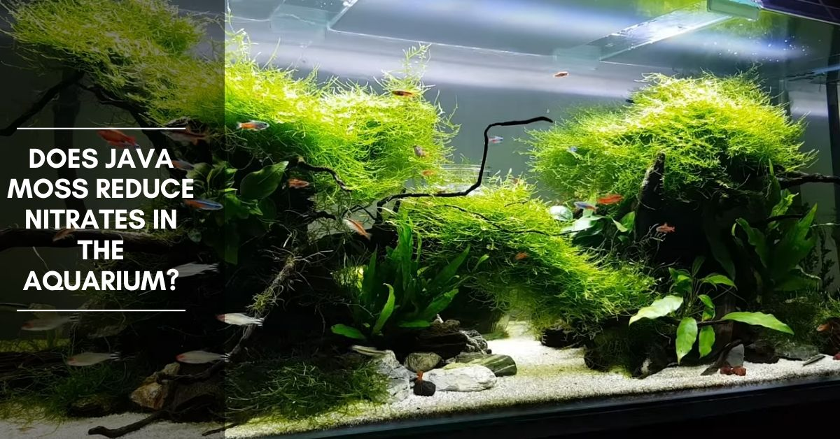 Does Java Moss reduce nitrates in the aquarium?