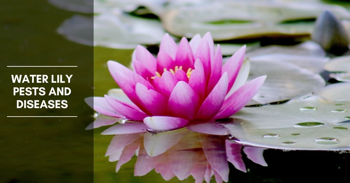 Water Lily Pests and Diseases – Pest Control and Leaf Problems