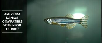 Are Zebra Danio Compatible With Neon Tetras?