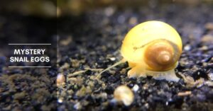 Mystery Snail Eggs – How Long Does It Take for Eggs to Hatch?
