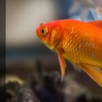 Why Is My Goldfish Scales Falling Off – How Do You Treat It?
