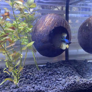 Aquarium Coconut Cave: for Pleco, Cichlid, Betta Fish, Shrimp, Aquarium Decoration, and as Accessory