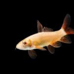 Albino Rainbow Shark, a Complete Guide