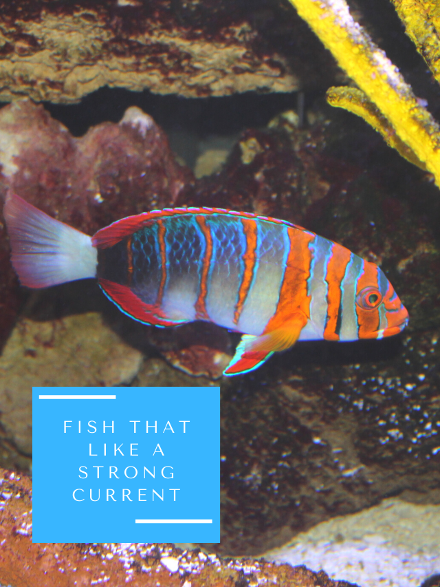 11 Aquarium Fish That Like a Strong Current, and Fast-Moving Water
