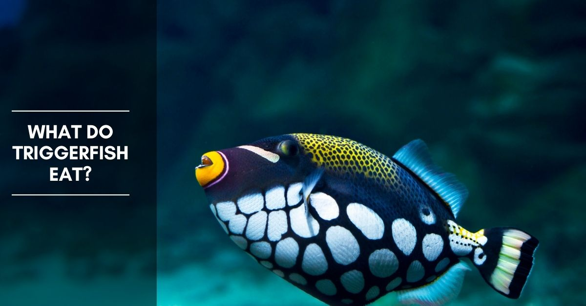 What Do Triggerfish Eat?