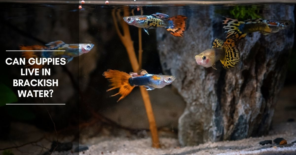 Can Guppies Live in Brackish Water? Can They Tolerate Salt?