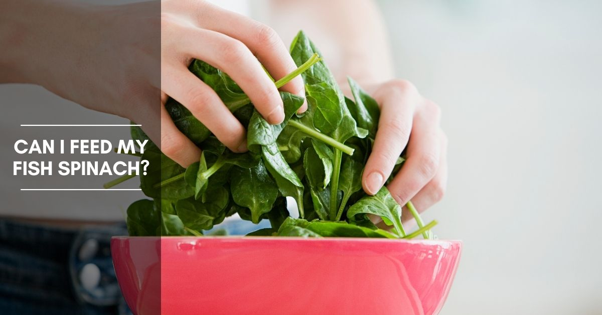 Can I Feed My Fish Spinach? How To Add Spinach To Your Fishes Diet
