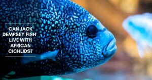 Can Jack Dempsey Fish  Live with African Cichlids?