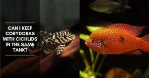 Can I Keep Corydoras with Cichlids in the Same Tank?