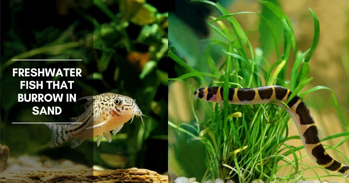 Freshwater Fish That Burrow In Sand